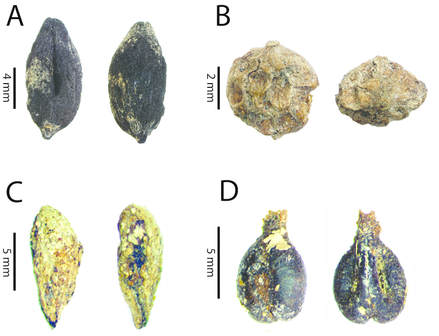 seeds of Old World domesticated plants found in an Early Colonial site in Peru